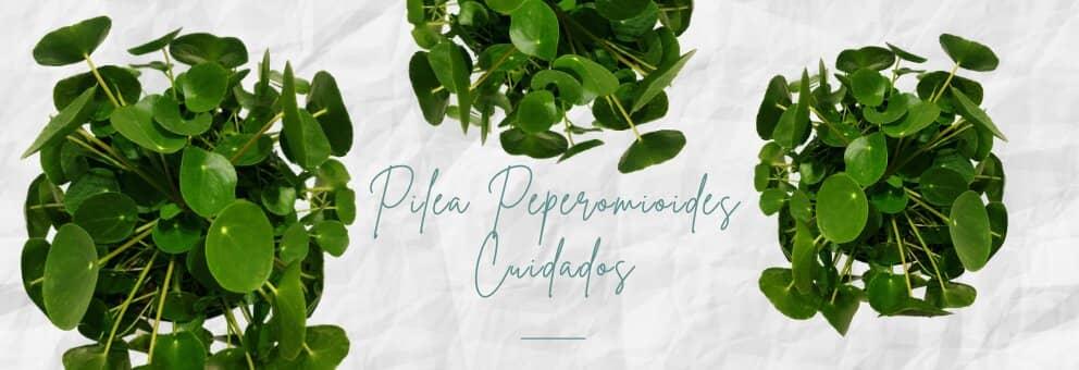 pilea peperomioides (planta china del dinero)