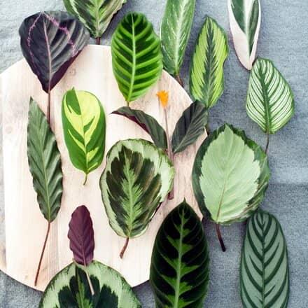 hojas calathea
