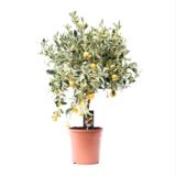 citrus variegata