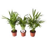 palmeras areca 45cm