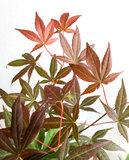 hojas arce japonés rojo