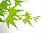 hojas arce japonés verde