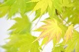 hojas arce japonés amarillo