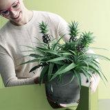 plantas piña maceta