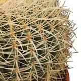 pinchos echinocactus grusonii