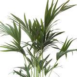 hojas palmera kentia