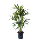 palmera kentia