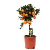 árbol mandarino