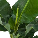hojas platanera musa dwarf cavendisch