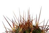 cactus neocardinasia herzogiana