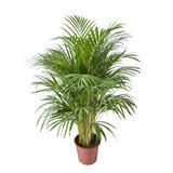 palmera areca 125cm