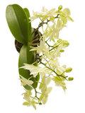 orquídea blanca multiflora