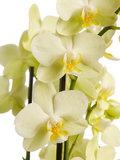 flores orquídea blanca