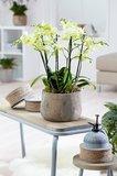 orquídea blanca interior
