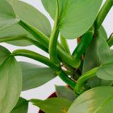 hojas filodendro astado