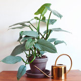 philondendron hastatum 40cm