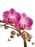 flores orquídea rosa