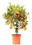 árbol cítrico variegata