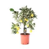 árbol citrus variegata