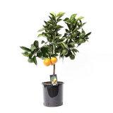árbol naranjo 85cm