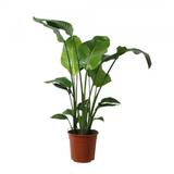 planta ave del paraíso 100cm