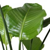 hojas planta ave del paraiso