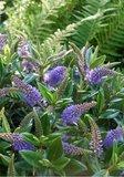 flores azules de verónica azul
