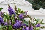 flores azules de hebe addenda