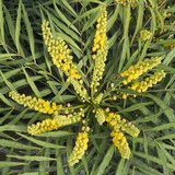 detalle de las flores de la mahonia