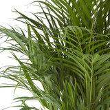 hojas palmera areca