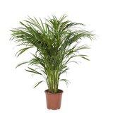palmera areca 90cm