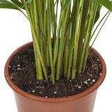 palmera areca maceta 21cm