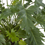 hojas filodendro xanadu