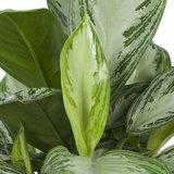hojas aglaonema silver bay