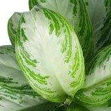 detalle de hojas aglaonema silver bay