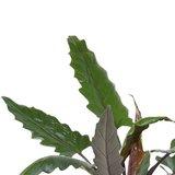 hojas de alocasia lauterbachiana