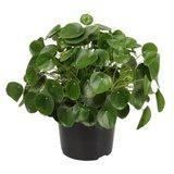 planta china del dinero 50cm (pilea peperomioides)
