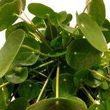 hojas de la pilea peperomioides