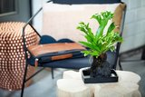 planta lova microsorum punctatum