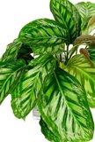 hojas calathea flamestar
