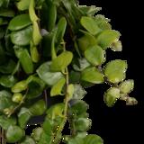 hojas de aeschynanthus 'pink polka'