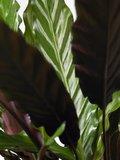 hojas calathea rufibarba elgergrass