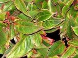 hojas aglaonema creta roja