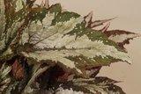 hojas begonia verde sumatra