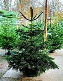 árbol de navidad natural abeto normandía