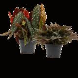 pack begonias lovers