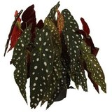 begonia maculata grande 45cm
