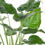 hojas alocasia cucullata