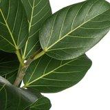 hojas ficus benghalensis audrey