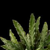 hojas calathea elgergrass